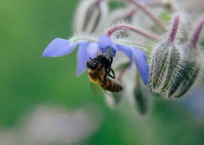 Bee on a Borage flower