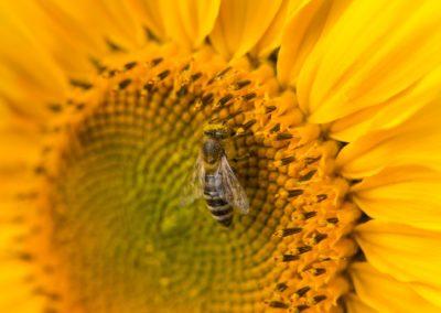Sunflower close up with Honeybee