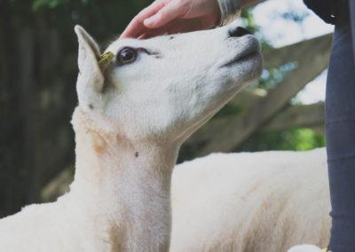 Hand stroking sheep head