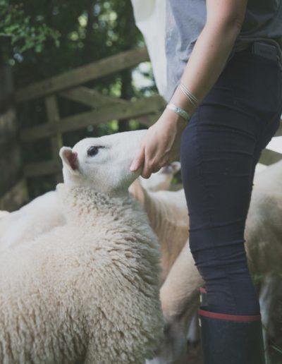 Rosie hand feeding sheep