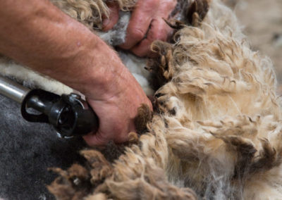 Shearing a brown sheep