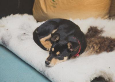 Bo the dog sleeping on a sheepskin